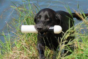 Gun Dog training August 2016